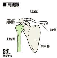 肩関節 イラスト